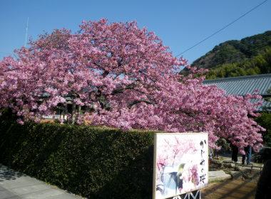 14かじやの桜.jpg