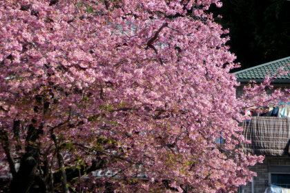 17満開の原木お花いっぱい.jpg