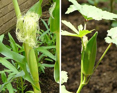 22ケープの畑トウモロコシとオクラ.jpg