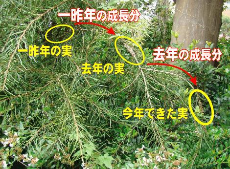 22ブラシの木の種.jpg