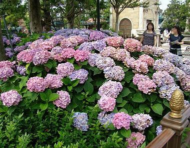 24ウォーターフロントパークの紫陽花.jpg