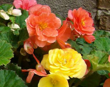 25バラ咲きベゴニア.jpg