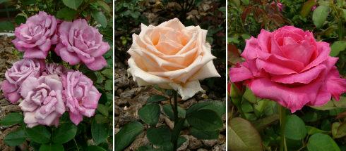38プラザのバラ3種.jpg