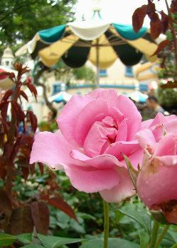 43TTピンクのバラ.jpg