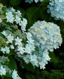17AL紫陽花2ガクアジサイと紫陽花.jpg