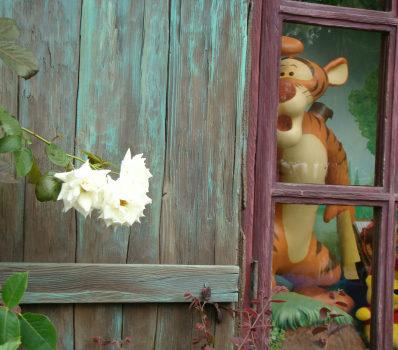 42FLプーさん前の白いバラ2.jpg