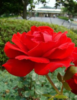 53エント外赤バラ.jpg